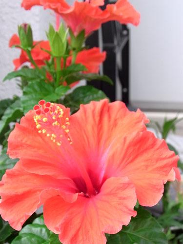 20100705_hibiscus